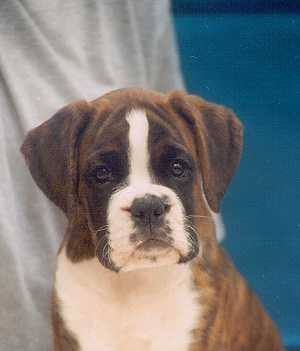 cachorro boxer cola corta natural